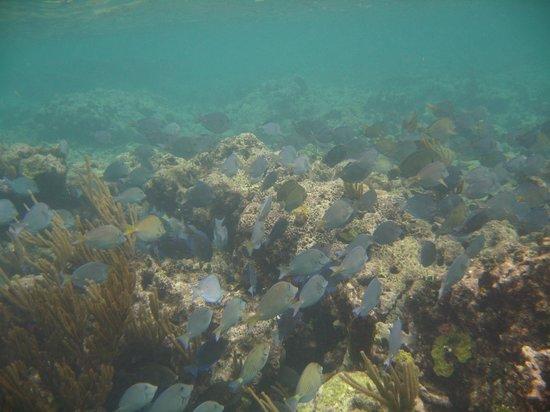 Sapphire Beach Resort: Snorkeling at reef at resort