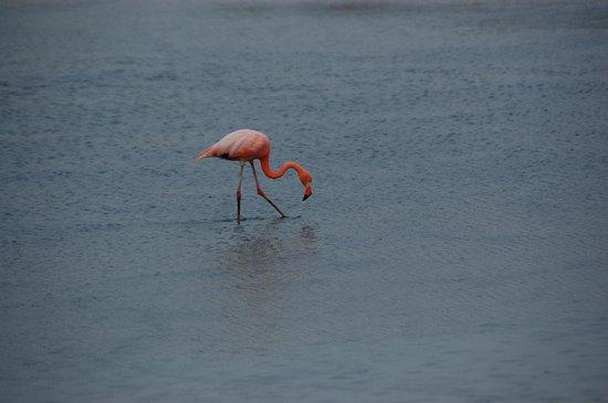 Dragon Hill (Cerro Dragon): Galapagos flamingo