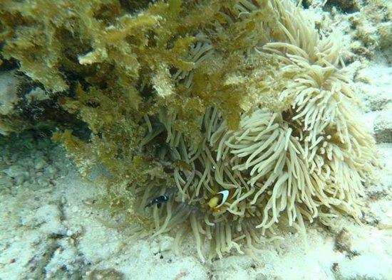 Asian-Belgian Dive Resort: We found Nemo, thanks to Roland!