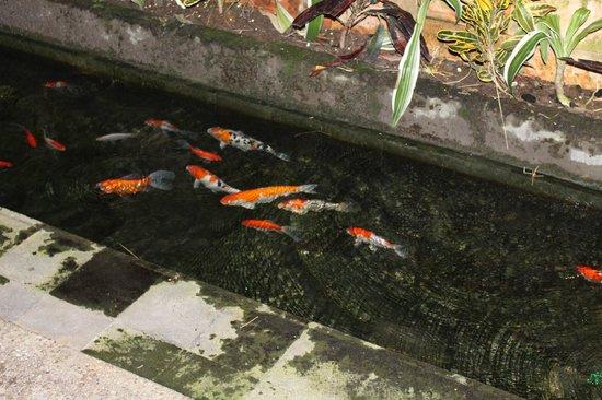 Junjungan Ubud Hotel and Spa: fishpond in dining area
