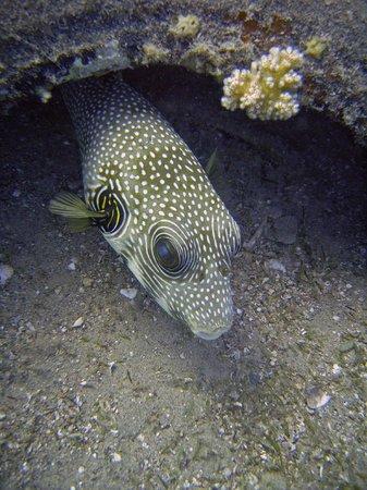 Daniela Diving Centre: Whitespotted puffer