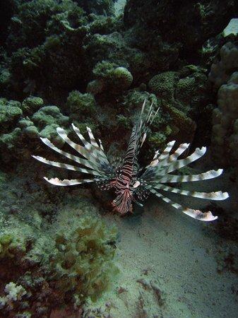 Daniela Diving Centre: Lionfish