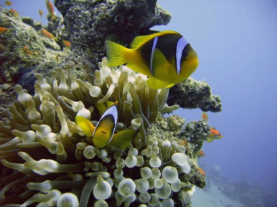 Daniela Diving Centre: Anemonefish