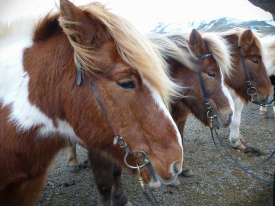 Laxnes Horse Farm: Icelandic horses