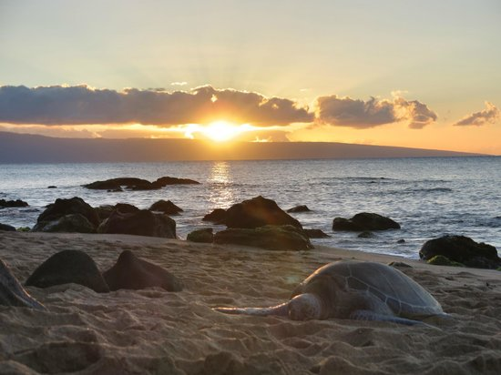 Kahana Beach Resort: Turtle napping on the beach 500' south of the Kahana Resort