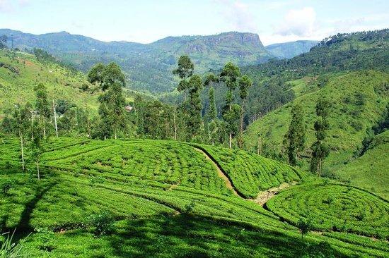 Ayurveda Paragon: Tea Plantage