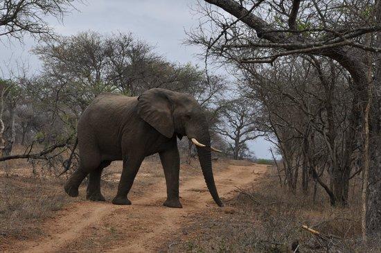 Kapama River Lodge: Uma emoção ver os elefantes de aproximando do jeep.