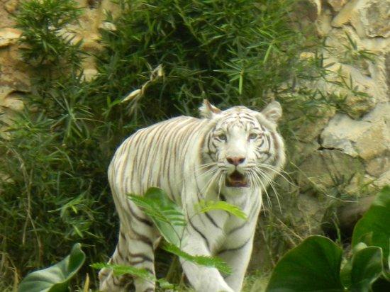 Zoologico de Cali: Un hermoso tigre blanco