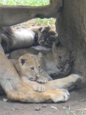 """Zoologico de Cali: Dos de los tres """"nuevos"""" leoncitos! Hermosos!!!"""