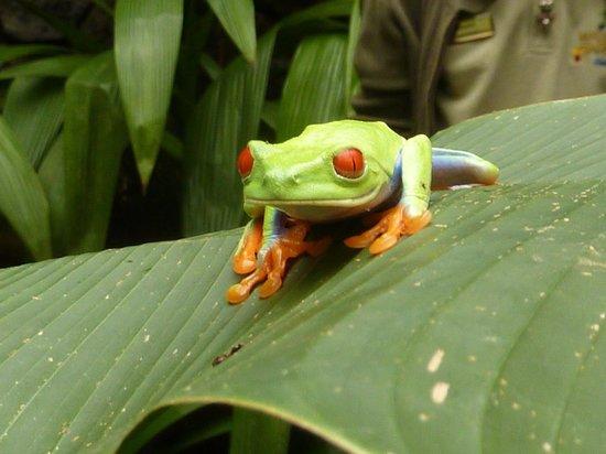 La Fortuna de San Carlos, Costa Rica: groda