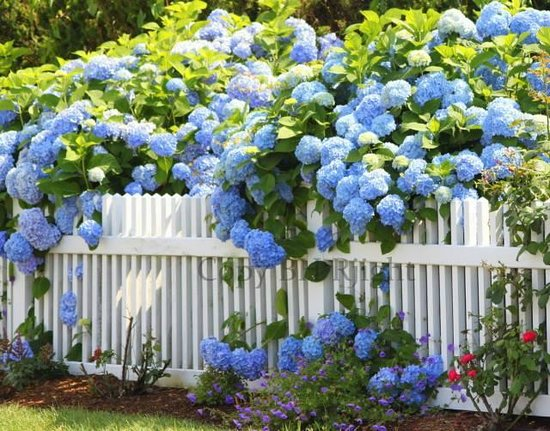 Millie's of Chatham General Store: Hydrangea Prints