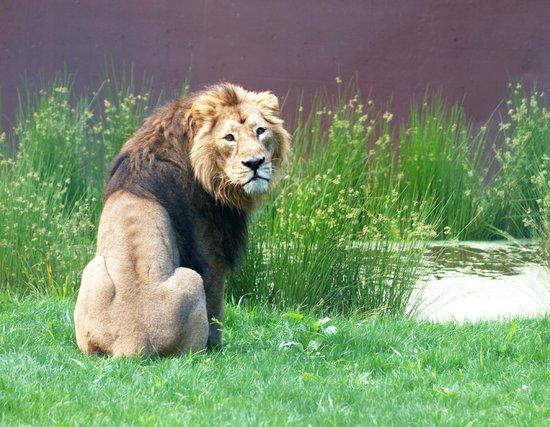 Zoo Santo Inácio : Leão Asiático | Asian Lion