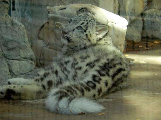 Denver Zoo: Baby Snow Leopard looking for Mom to pounce on
