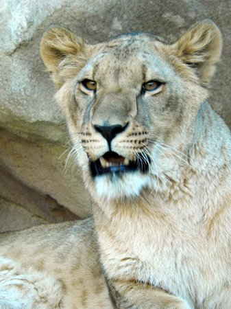 Denver Zoo: Lioness checking us out