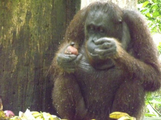 Sukau Rainforest Lodge: Orang Utan