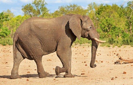 Wilderness Safaris Little Makalolo Camp : Elephant on safari