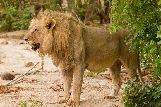Wilderness Safaris Little Makalolo Camp : Lion on Game Drive