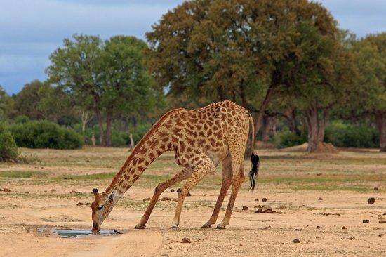 Wilderness Safaris Little Makalolo Camp : Giraffe drinking