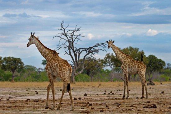 Wilderness Safaris Little Makalolo Camp : Game  Drive - Giraffes