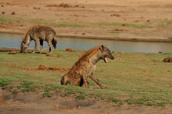 Wilderness Safaris Little Makalolo Camp : Hyenas at Waterhole