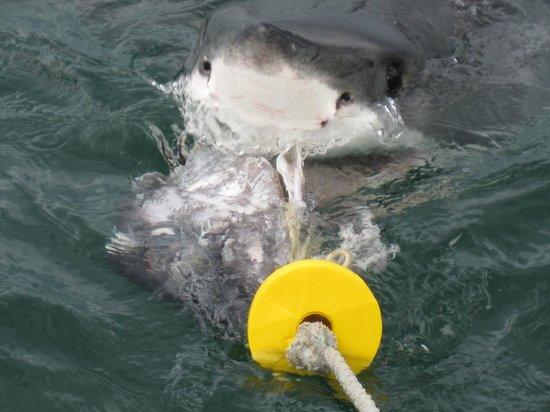 White Shark Africa: l'arrivo