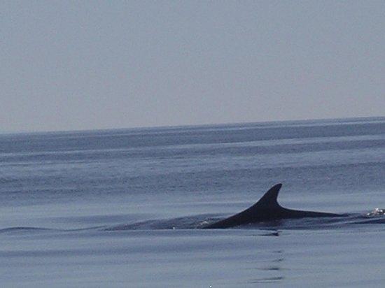 A Minke Whale seen from the MV Osprey