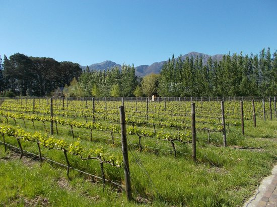 La Petite Dauphine: Young vines