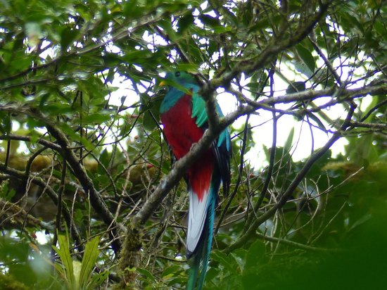 Cala Lodge: Quetzal seen at Nuboso Monteverde park