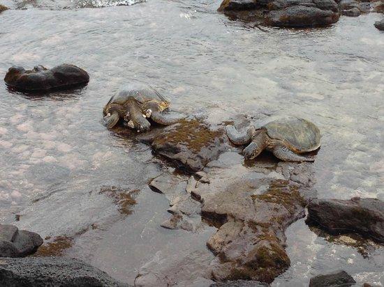 Noelani Condominium Resort : Turtles on the Rocks Below Noelani