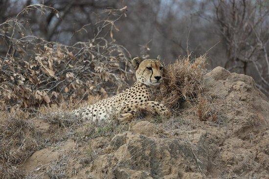 Pondoro Game Lodge: Cheetah at rest before hunting