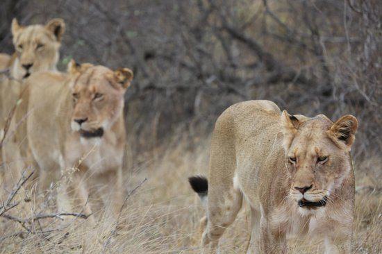 Pondoro Game Lodge: Female lions on the move