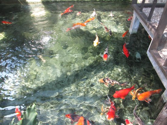 Sukun Bali Cottages: fish pond large variety of koi fish