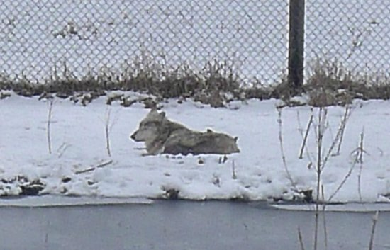 Wildlife Prairie Park: wolves in repose