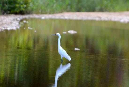 Hamanasi Adventure and Dive Resort : Egret near hotel