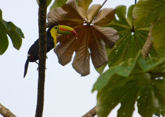 Hamanasi Adventure and Dive Resort: Toucan bird in tree