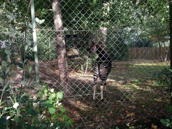 Dublin Zoo: I'm a Zebra, No, maybe I'm a White crowned Mangabey