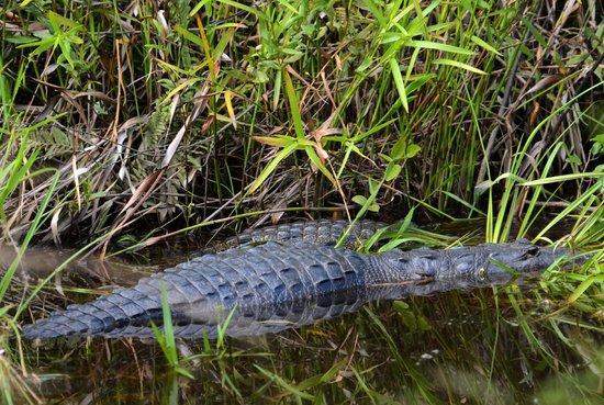 Hamanasi Adventure and Dive Resort: Crocs in the pond