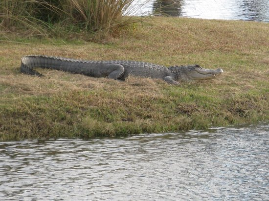 The King and Prince Beach and Golf Resort: alligator on 14th hole