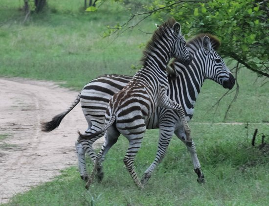 Tydon Safari Camp : Zebra