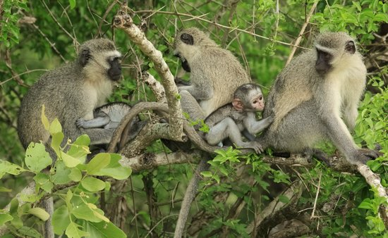 Tydon Safari Camp : Vervet monkeys