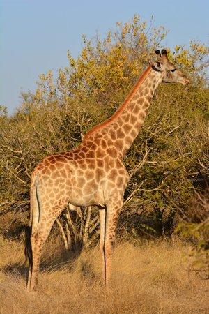 Naledi Bushcamp and Enkoveni Camp: Giraffe