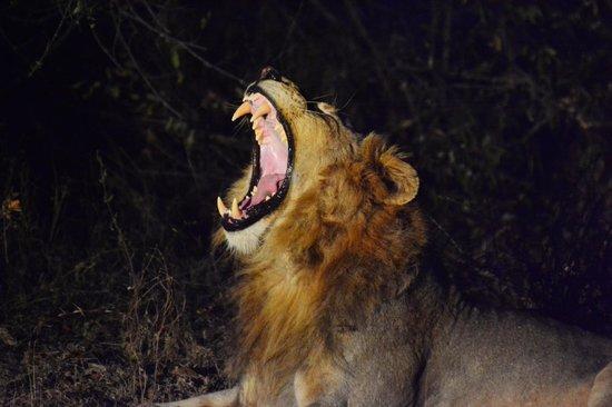 Naledi Bushcamp and Enkoveni Camp: Lion
