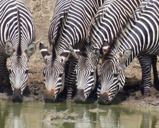Watu Safaris: Zebra taking their time for a drink in Mikumi