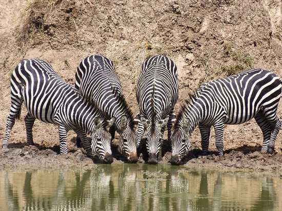 Morogoro, Tanzania: Drinking together at the hippo pool in Mikumi