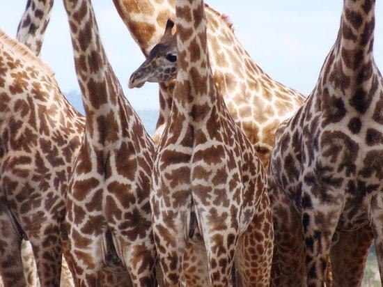 Watu Safaris: A young Giraffe among the older Giraffe as seen in Mikumi
