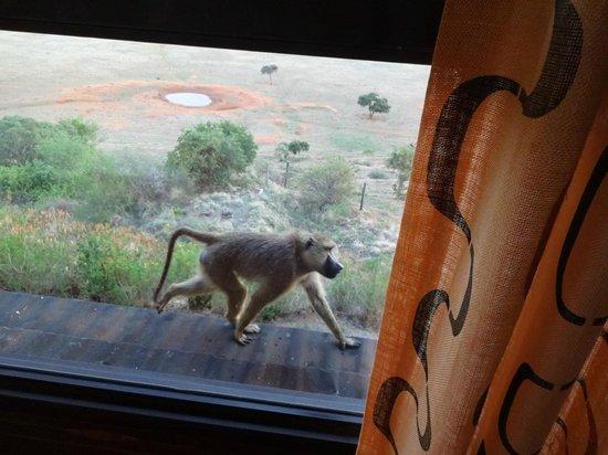 Voi Safari Lodge: Babbuino sulla finestra.