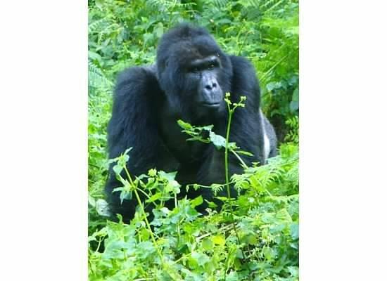 Bwindi Impenetrable National Park : Mountain Gorilla Tracking