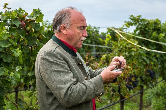 Weingut & Landhaus Willi Opitz: Checking grapes