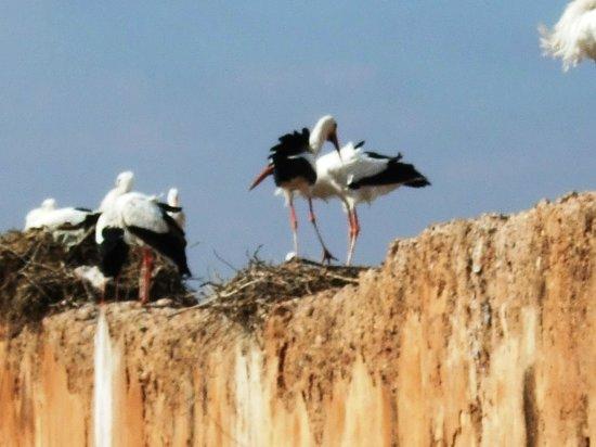 El Badi Palace: Storks on the palace walls.