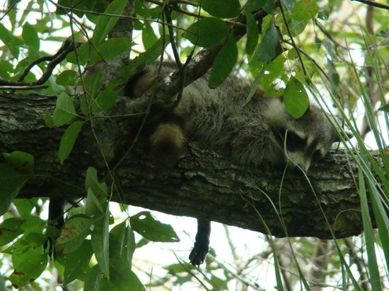 Ochopee, FL: Sleepy little Raccoon we were lucky enough to get a photo of!
